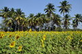 Lop Buri Province, Thailand: Sunflower Fields Royalty Free Stock Photo