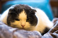 Lop-eared cat Royalty Free Stock Photo