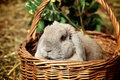Lop earred rabbit gray in basket on hayloft Royalty Free Stock Photos