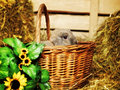 Lop earred rabbit gray in basket on hayloft Stock Photos