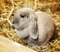 Lop earred rabbit gray on hayloft close up Stock Images