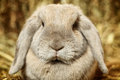 Lop earred rabbit gray on hayloft close up Royalty Free Stock Photos