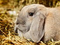 Lop earred rabbit gray on hayloft close up Royalty Free Stock Images