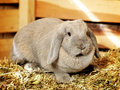 Lop earred rabbit gray on hayloft close up Stock Image