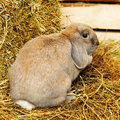 Lop earred rabbit gray on hayloft close up Stock Photography