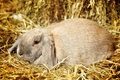 Lop earred rabbit gray on hayloft close up Royalty Free Stock Photography