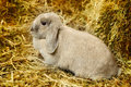 Lop earred rabbit gray on hayloft close up Royalty Free Stock Photo