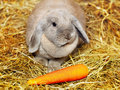 Lop earred rabbit gray on hayloft rural scene Stock Photo