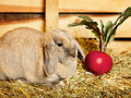 Lop earred rabbit gray on hayloft rural scene Royalty Free Stock Images