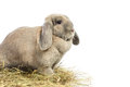 Lop earred rabbit gray isolated on white background Stock Images