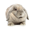 Lop earred rabbit gray isolated on white background Stock Photos