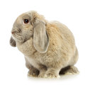 Lop earred rabbit gray on white background Stock Photo