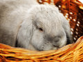 Lop earred rabbit gray in wicker basket close up Stock Image