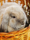 Lop earred rabbit gray in wicker basket close up Royalty Free Stock Photo
