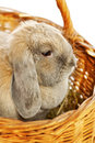 Lop earred rabbit gray in wicker basket close up Royalty Free Stock Image