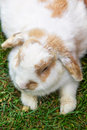 Lop earred rabbit laying on the grass Royalty Free Stock Photography