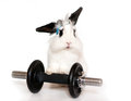 Lop rabbit and a weight cute bunny isolated Stock Images