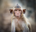 Lopburi thailand monkey crab eating or long tailed macaque in prang sam yot temple khmer ancient buddhist pagoda ruins are famous Stock Photo