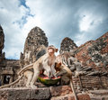 Lopburi thailand monkey crab eating or long tailed macaque in prang sam yot temple khmer ancient buddhist pagoda ruins are famous Stock Photography