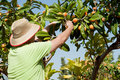 Loquat picker Royalty Free Stock Photos