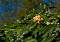 Loquat season Royalty Free Stock Image
