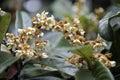Loquat tree in bloom