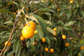 Loquats Royalty Free Stock Images