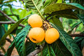 Loquats fresh raw on the brabch in the countryside Royalty Free Stock Photo