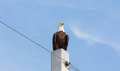 Lord of the realm this bald eagle was sitting unconcernedly on a power pole beside a highway viewing his domain this is an example Stock Photography