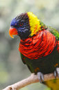 Lorikeet Royalty-vrije Stock Fotografie