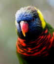 Lorikeet Stock Photo
