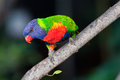 Lorikeet Stock Photos