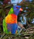 Lorikeet from australia common native parrot the often kept as pets noisy and cheeky Stock Photo