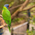 Lorikeet australien d'arc-en-ciel mangeant des fruits Photos stock
