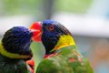Lorikeet bird holding beak of another lorikeet closeup two to lorikeets on a blurred background inside an aviary in butterfly Stock Photos