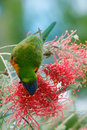 Lorikeet feeding on nectar colourful the of a pink grevillea australia Royalty Free Stock Images