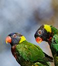 Lorikeet Pair Royalty Free Stock Photos
