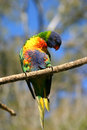 Lorikeet parrot Royalty Free Stock Photo