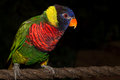 Lorikeet a up close view of a rainbow colored Stock Photography
