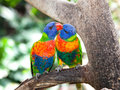Lorikeets australiens d'arc-en-ciel, Queensland. Photos stock