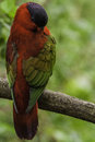 Lory close up of red bird Royalty Free Stock Images