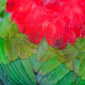 Lory keet feather background of Stock Photo
