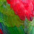 Lory keet feather background of Stock Images