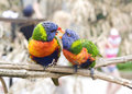 Lory lorikeets couple of parrots Stock Images