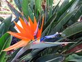 Lose up of bird of paradise plant in natural garden. Bird of Paradise tropical flowers background Royalty Free Stock Photo