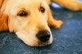 Lost Homeless Hungry Golden Labrador Retriever Dog Sleeping On Cold Floor