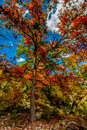 Lost maples state park texas beautiful fall foliage of with large singular tree in foreground Royalty Free Stock Photos