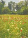 Lost in a sea of tulips Royalty Free Stock Photo