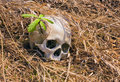 Lost skull and oak shoot Stock Photo