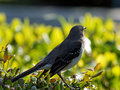 Lost in thought northern mockingbird looking away appearing contemplating Stock Photo